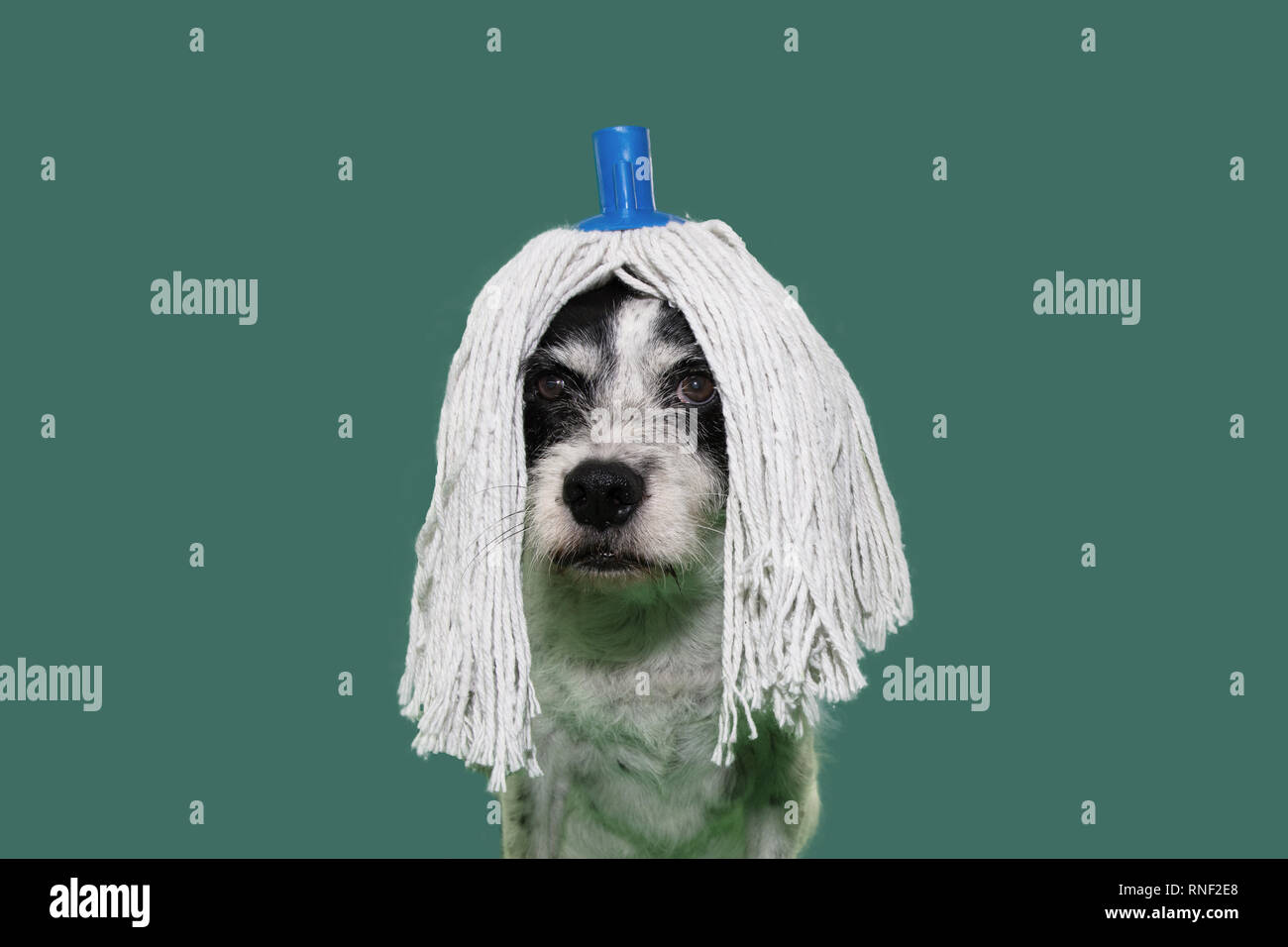 FUNNY DOG DRESSED WITH A MOP WIG FOR CARNIVAL, NEW YEAR OR HALLOWEEN PARTY. ISOLATED SHOT ON GREEN COLORED BACKGROUND. - Stock Image