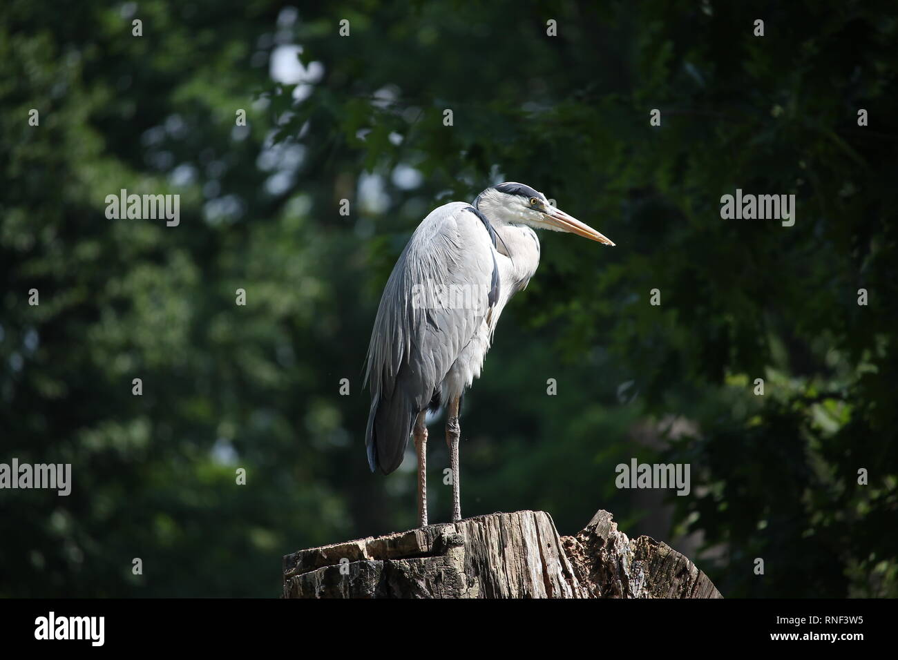 Grey Heron (Ardea cinerea) in a park in the Ruhr Area, Germany. - Stock Image