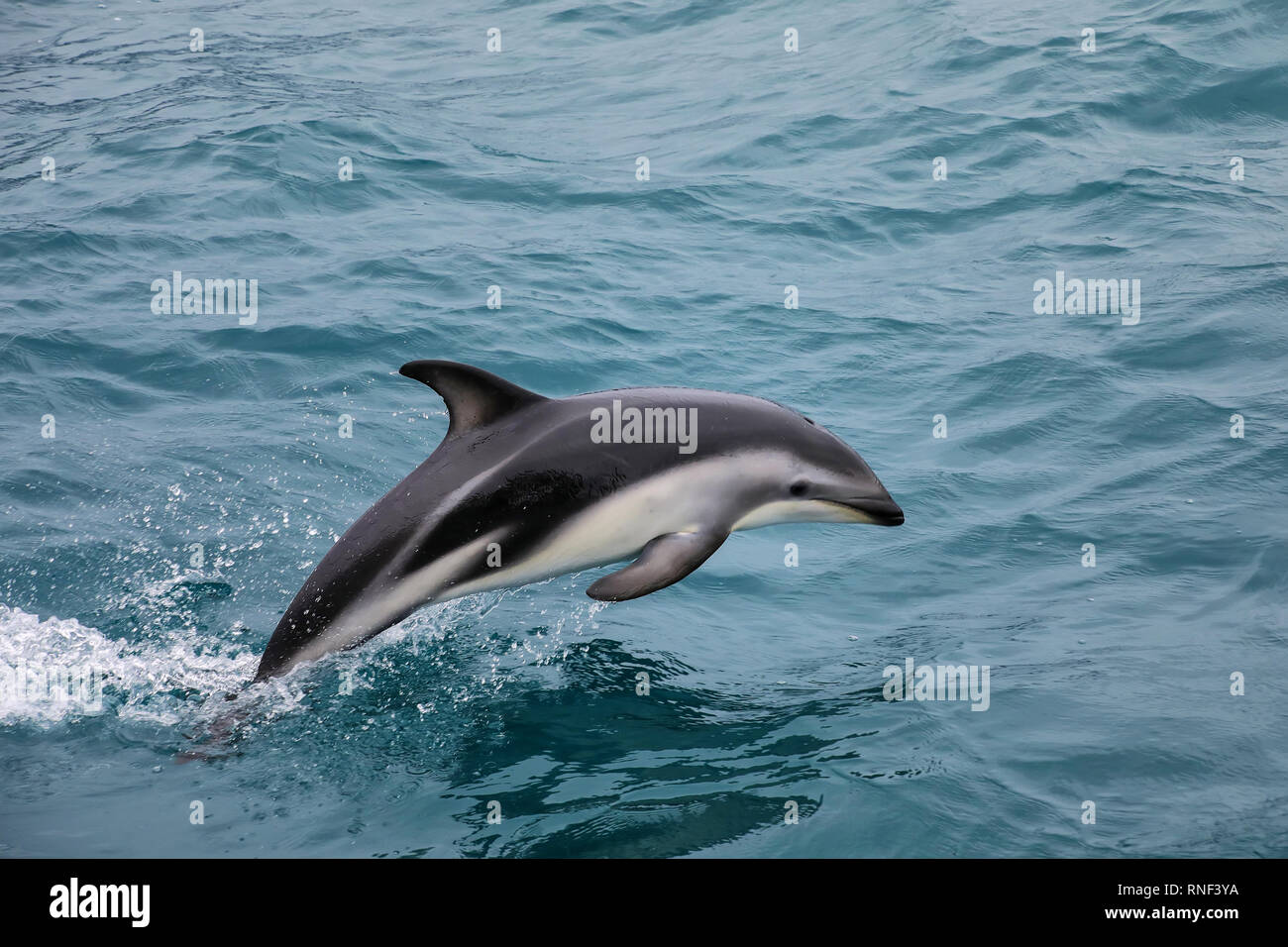 Dusky dolphin swimming off the coast of Kaikoura, New Zealand. Kaikoura is a popular tourist destination for watching and swimming with dolphins. - Stock Image