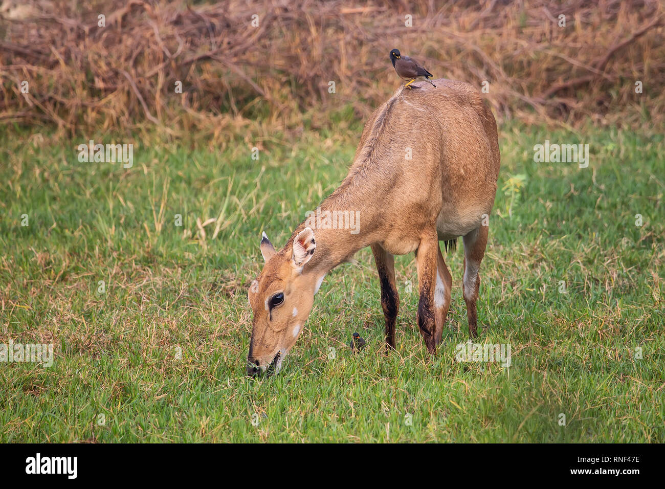 Female Nilgai with Brahminy myna sitting on her in Keoladeo National Park, Bharatpur, India. Nilgai is the largest Asian antelope and is endemic to th Stock Photo