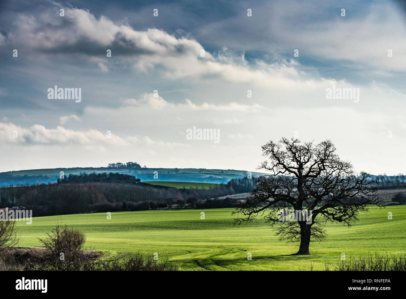 English Countryside  with young wheat field with a tree in the foreground , mist in the intervening valley and Brailes Hill, Warwickshire, UK in the b - Stock Image