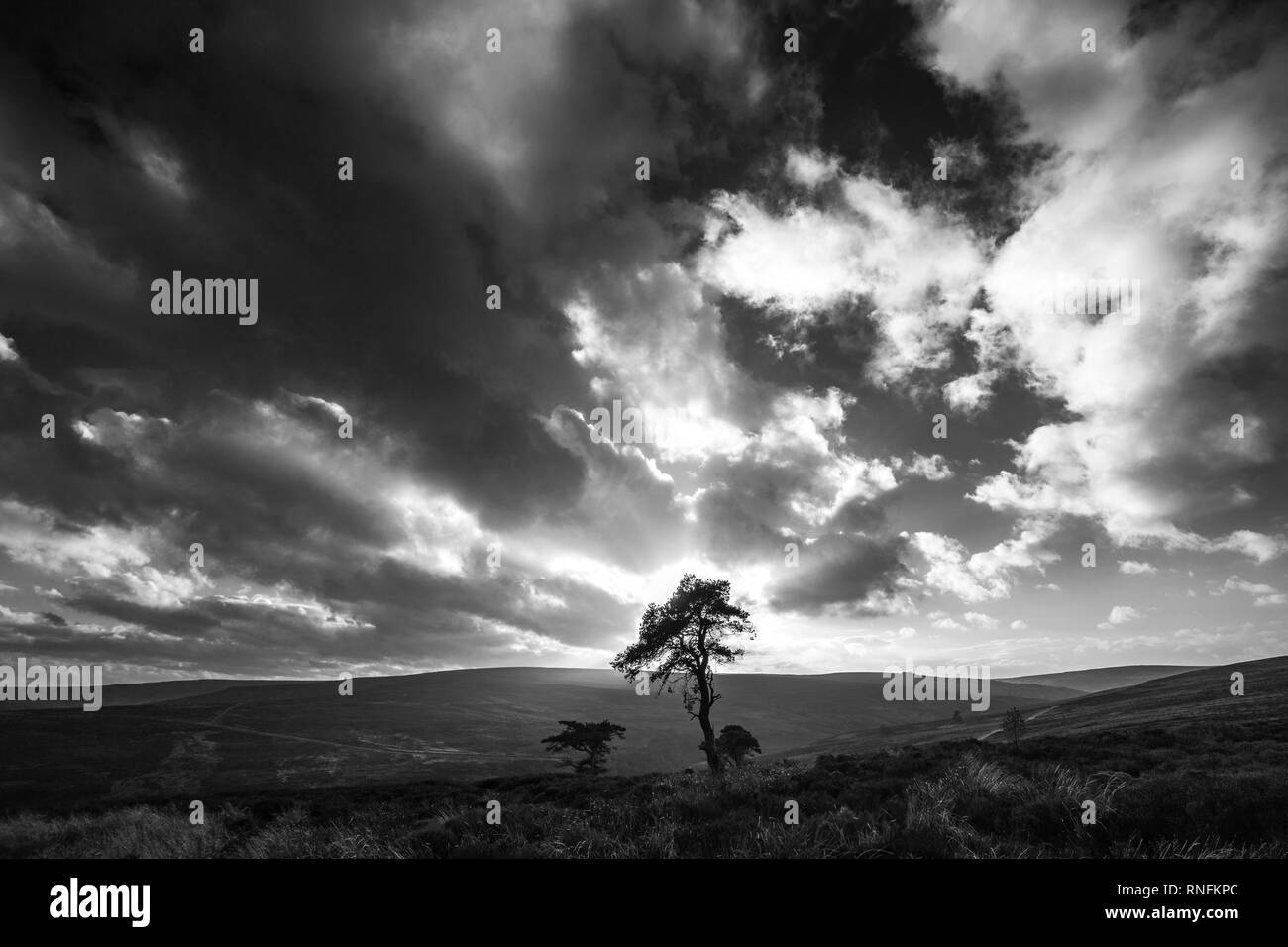Pine Tree above Commondale, North York Moors National Park - Stock Image