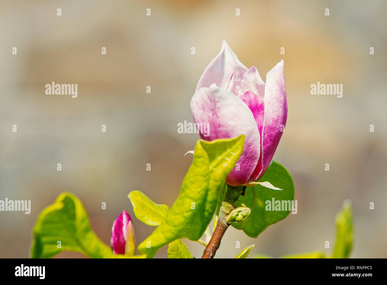 Blossom of magnolia tree on sunny day, spring flower. Magnolia flower bloom on blurred background. Spring season concept. New life awakening. Nature, beauty, environment, copy space - Stock Image