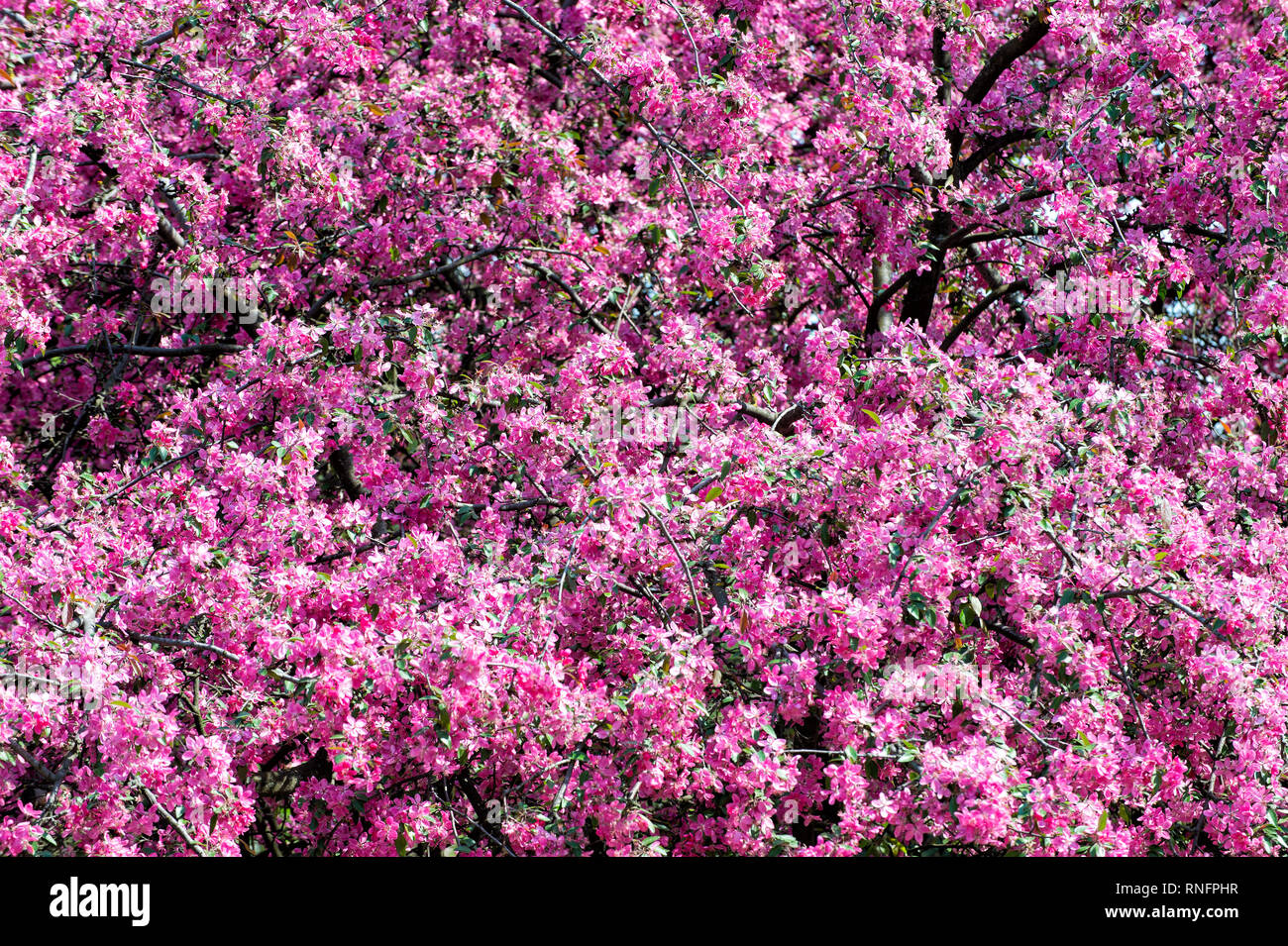 Sakura flowers blossoming in spring. Cherry tree in pink blossom on sunny day. Nature, beauty, environment. Sakura blooming season concept. Renewal, rebirth, new life awakening. - Stock Image