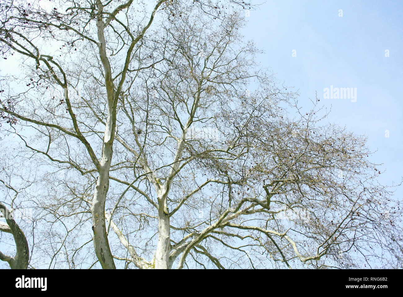 Large platane tree in fall - view from below early in the spring - Stock Image