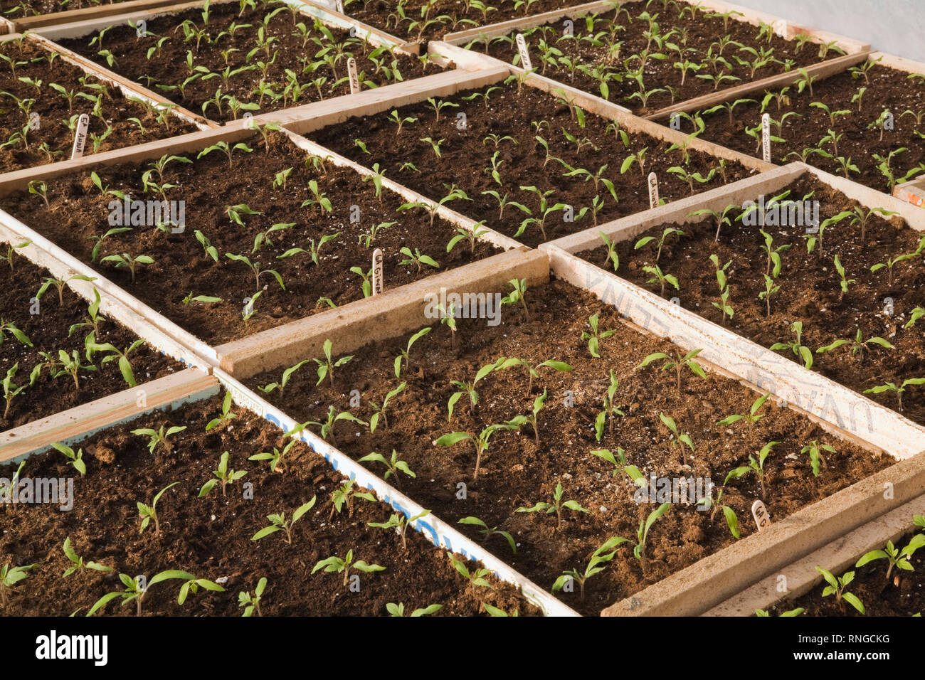 Seedlings growing in wooden trays inside a commercial greenhouse - Stock Image