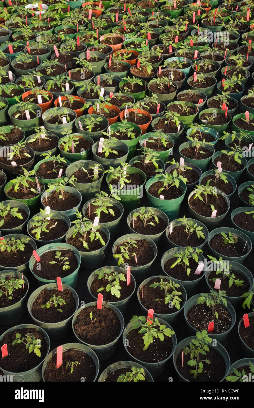 Young plants being organically grown in green plastic pots in a commercial greenhouse - Stock Image