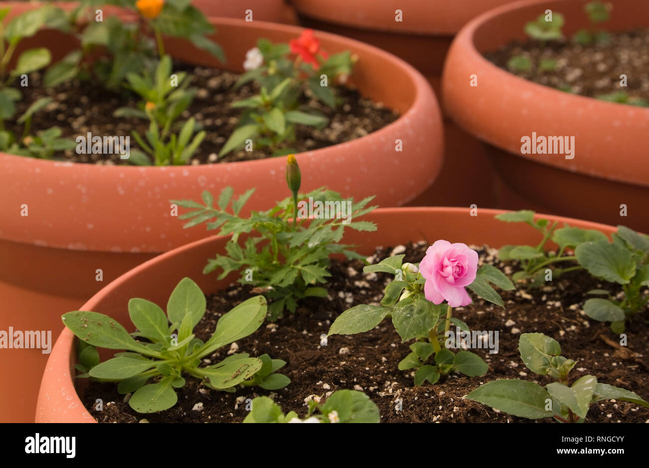 Close-up of a young rose bush plant growing in a plastic pot in a commercial greenhouse - Stock Image