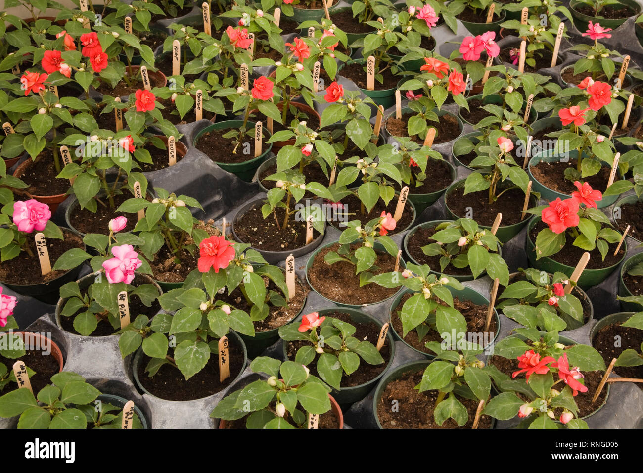 Young rose bush plants growing in plastic pots in a commercial greenhouse - Stock Image