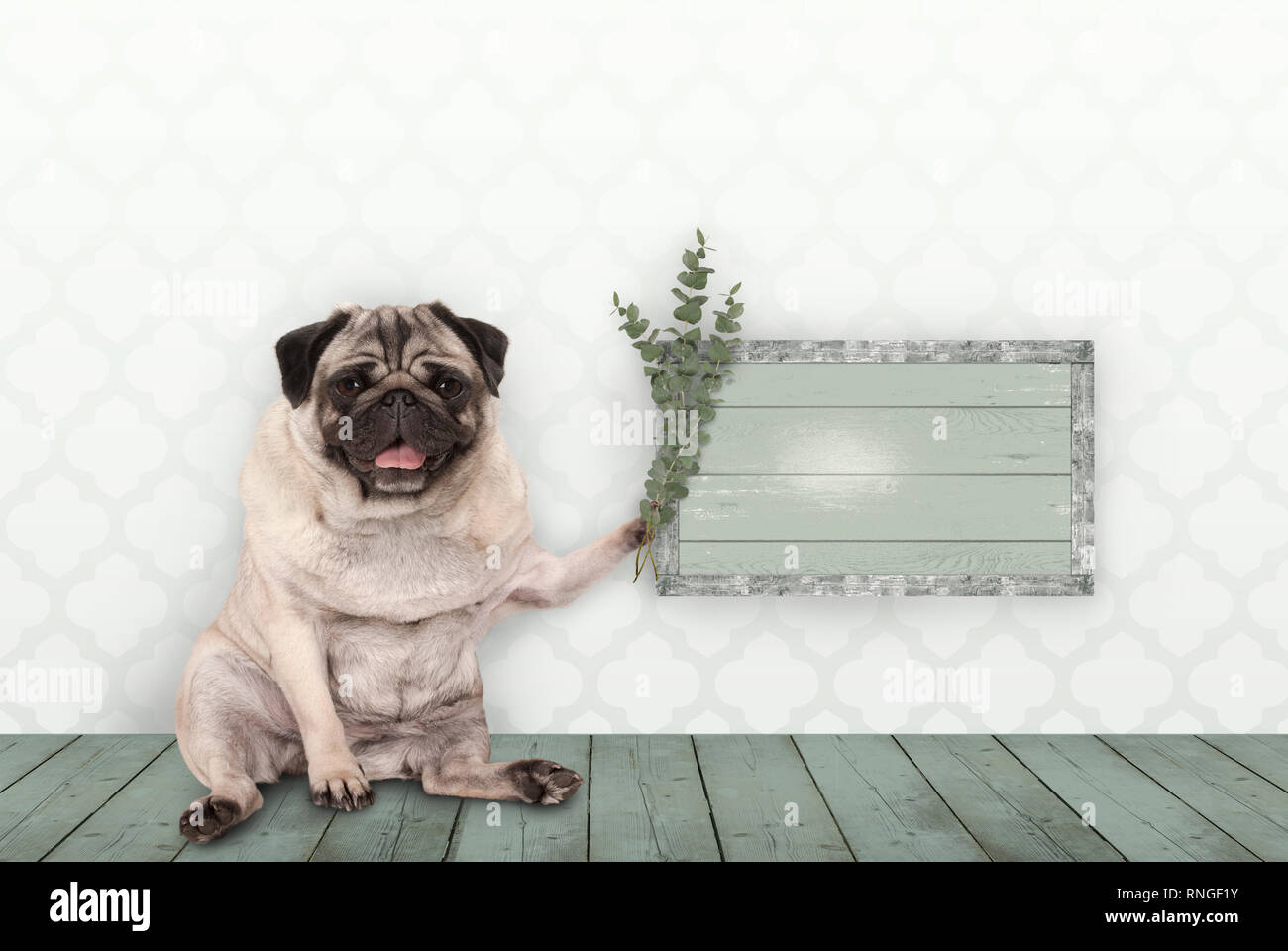 cute smiling pug puppy dog sitting down on old green wooden floor, holding blank sign and eucalyptus twigs and branches, in front of wall with morocca Stock Photo