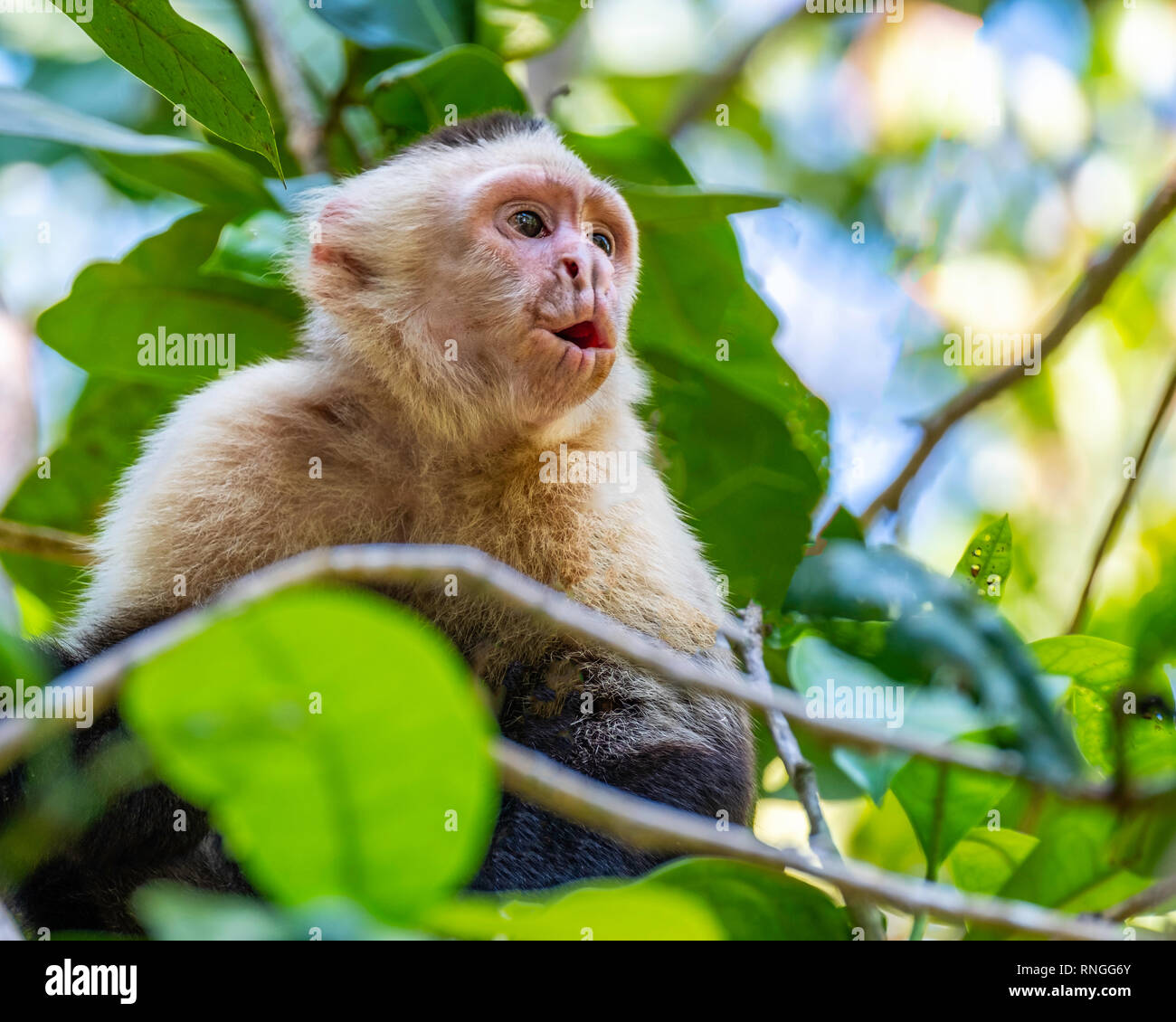In Manuel Antonio National Park in Costa Rica, a young white face monkey sits in a tree with its mouth open and lips pursed as it howls. - Stock Image