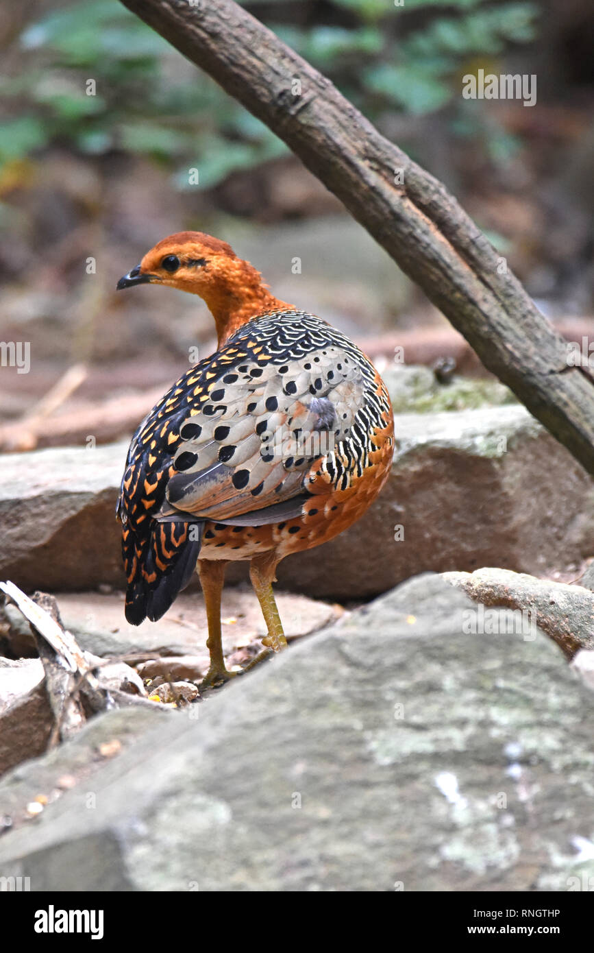 A female Ferruginous Partridge (Caloperdix oculea) in lowland forest in Western Thailand - Stock Image