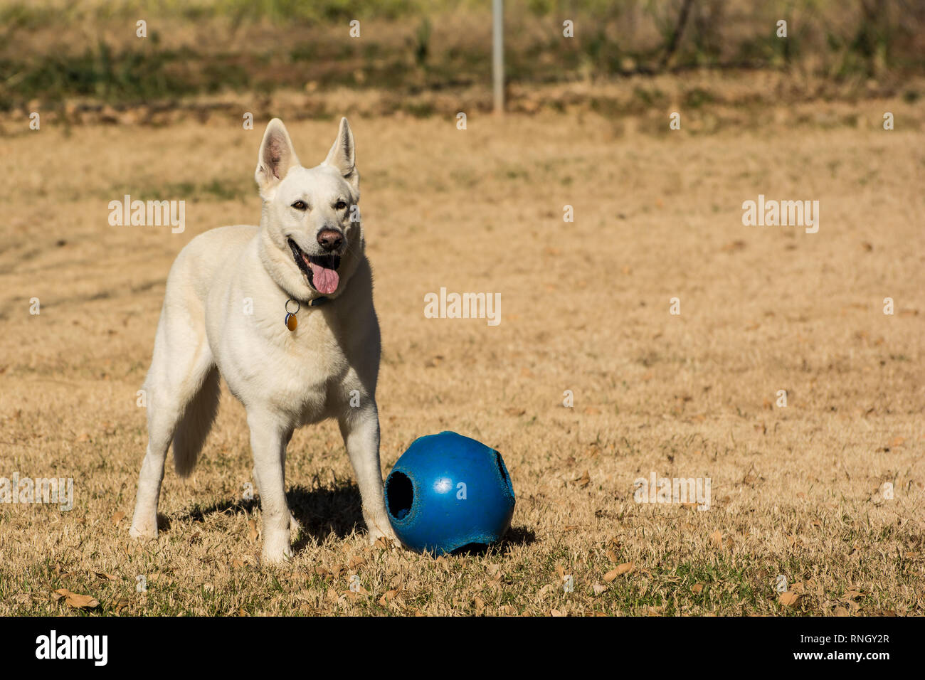 White German Shepherd playing outside in the sun - Stock Image