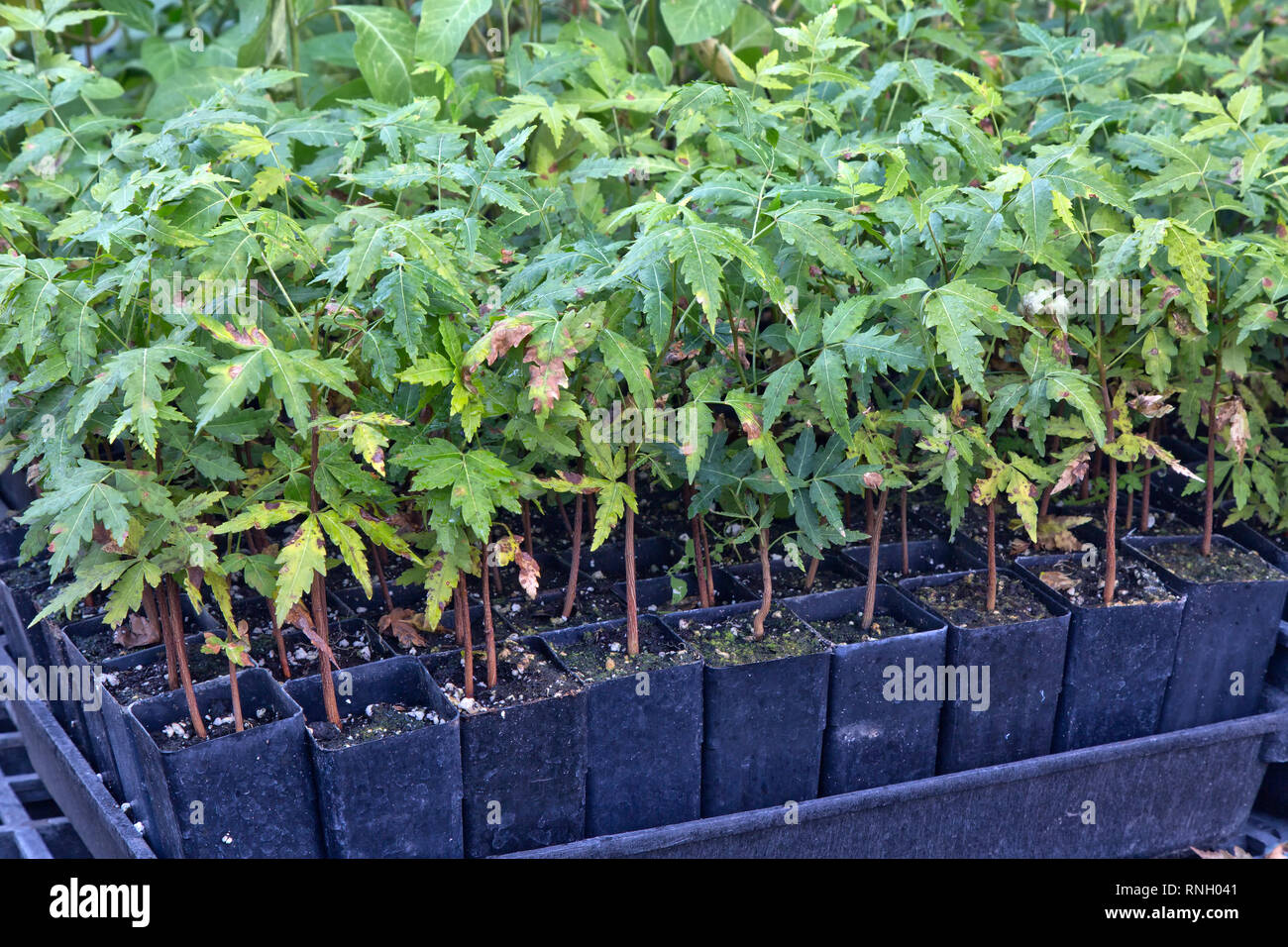 Neem  'Azadirachta indica' cuttings growing in pots, greenhouse. - Stock Image