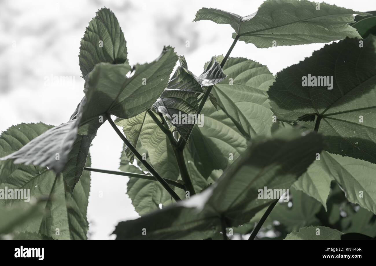 Mid century style image paulonia leaves desaturated green - Stock Image