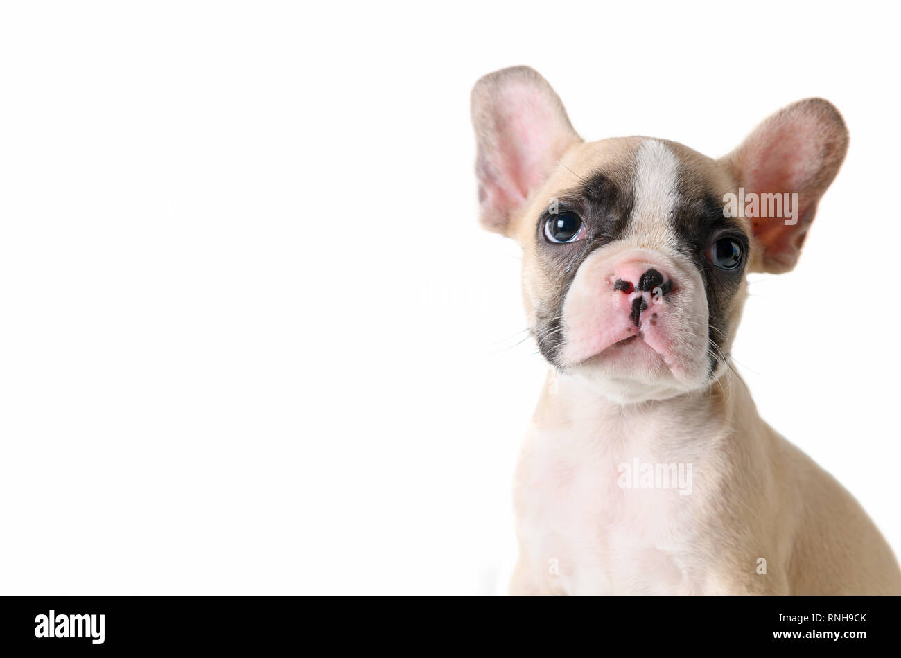 a0c393561784 Cute french bulldog puppy looking isolated on white background and copy  space for input text