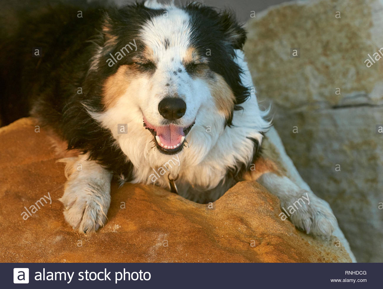 A beautiful Border Collie dog, resting on golden boulders in the sun - eyes closed and mouth open - on a summer's afternoon in Yamba, NSW, Australia. - Stock Image