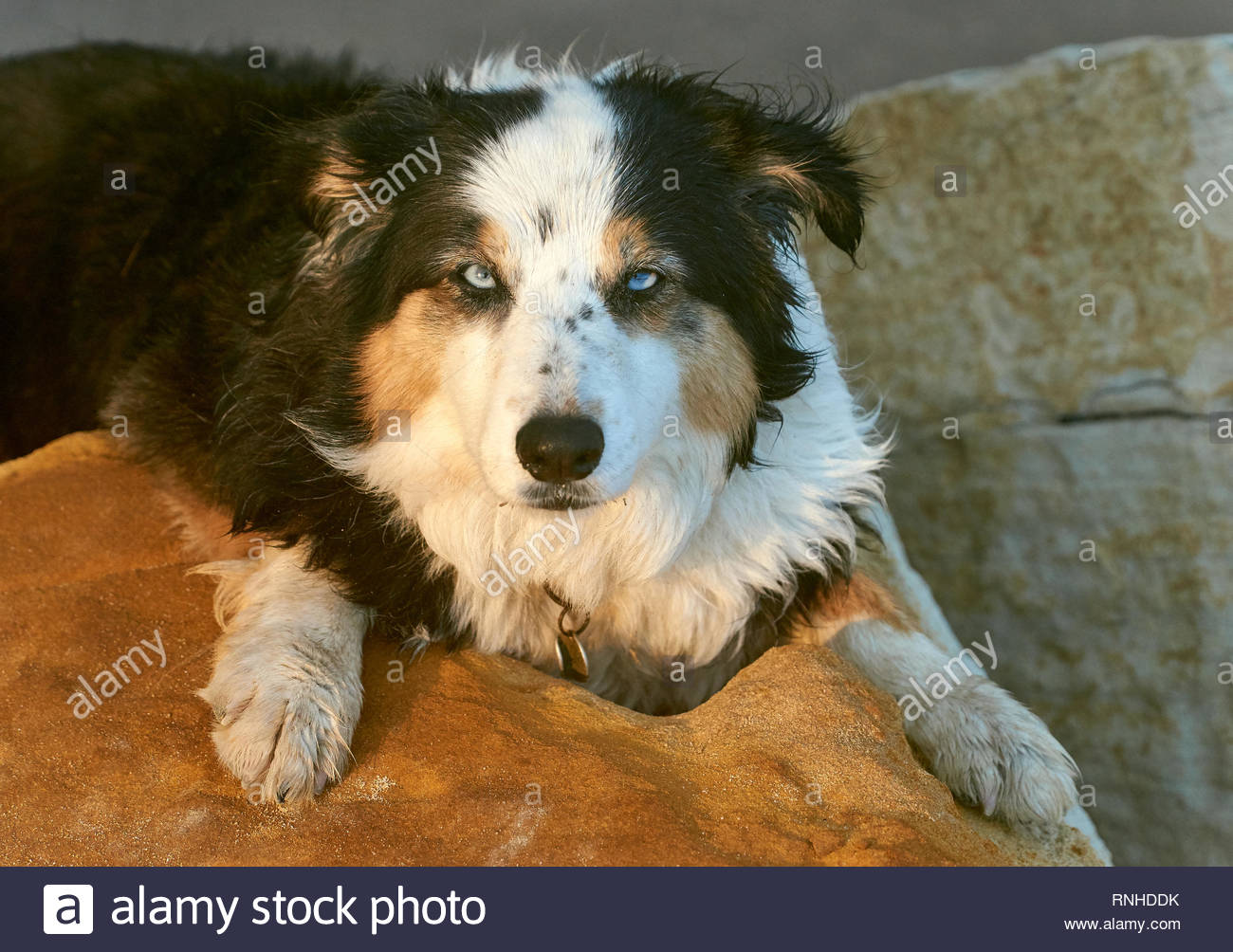 A beautiful blue-eyed tri-colored Border Collie, resting on golden sandstone boulders, looking at the camera in the golden-hour afternoon sunlight. - Stock Image