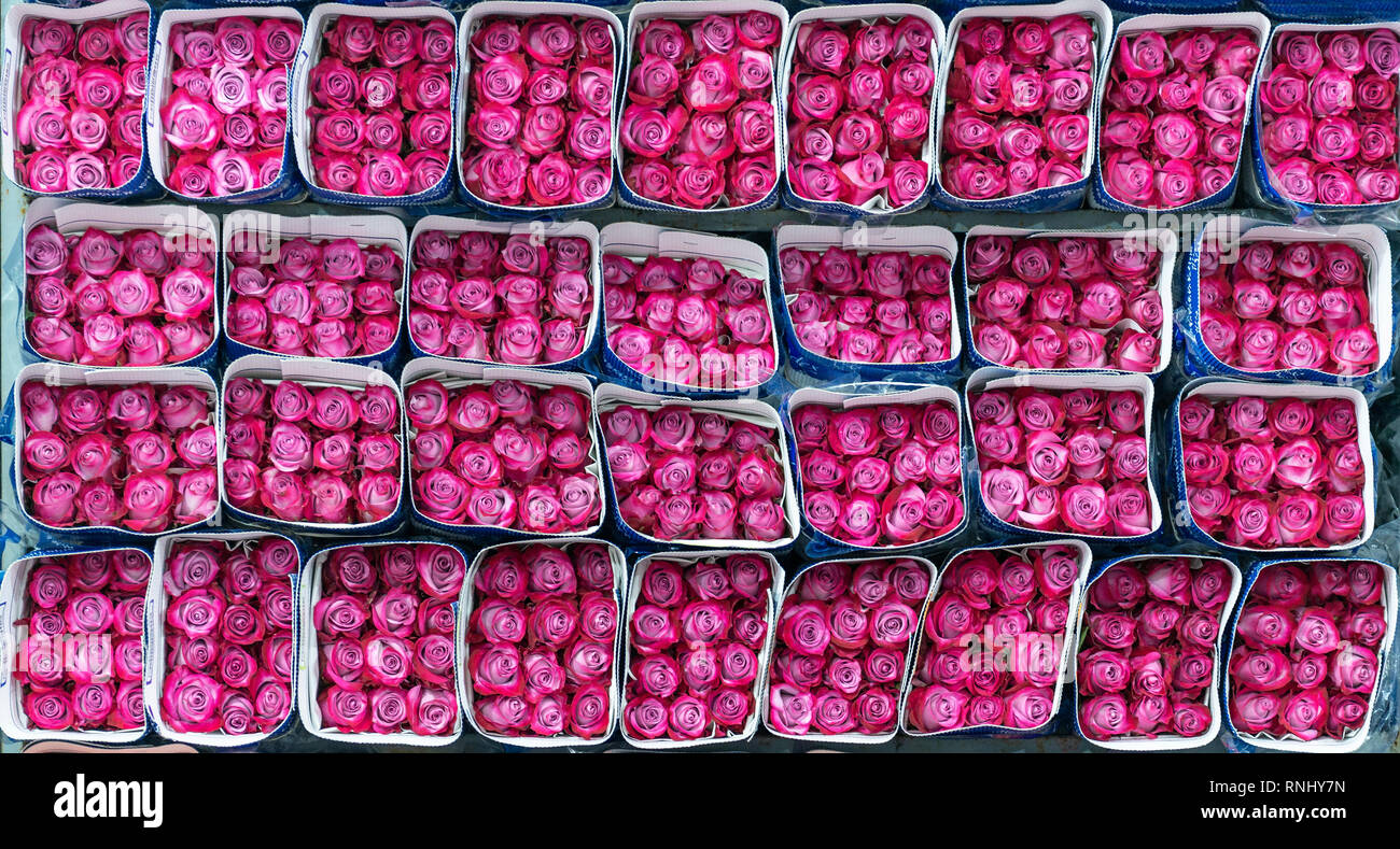 Dozens of magenta or fuchsia roses ready to export to all corners of the world in a rose production center in Cayambe, north of Quito, Ecuador. - Stock Image