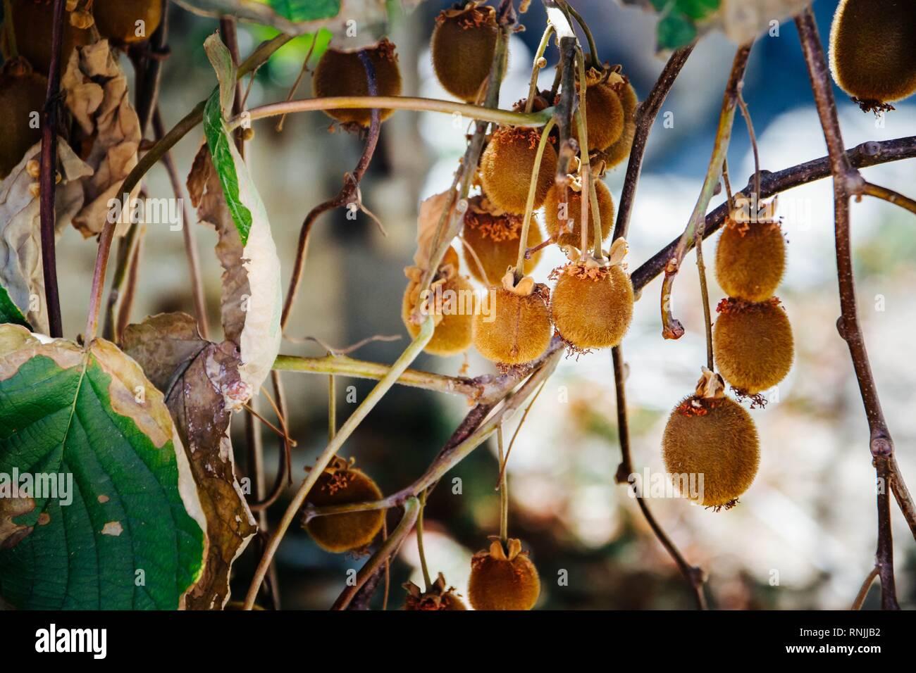 ripe kiwi fruit hanging on a kiwi bush - Stock Image