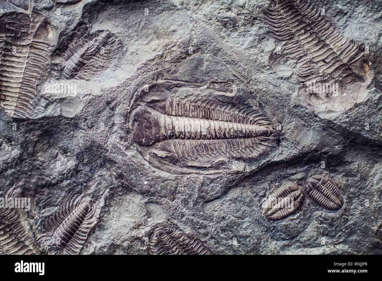 The imprint of the ancient trilobites in a stone. Trilobites, a fossil group of extinct marine arachnomorph arthropods, class Trilobita - Stock Image