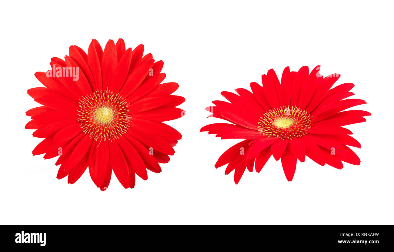 Gerbera flowers isolated on white background Stock Photo