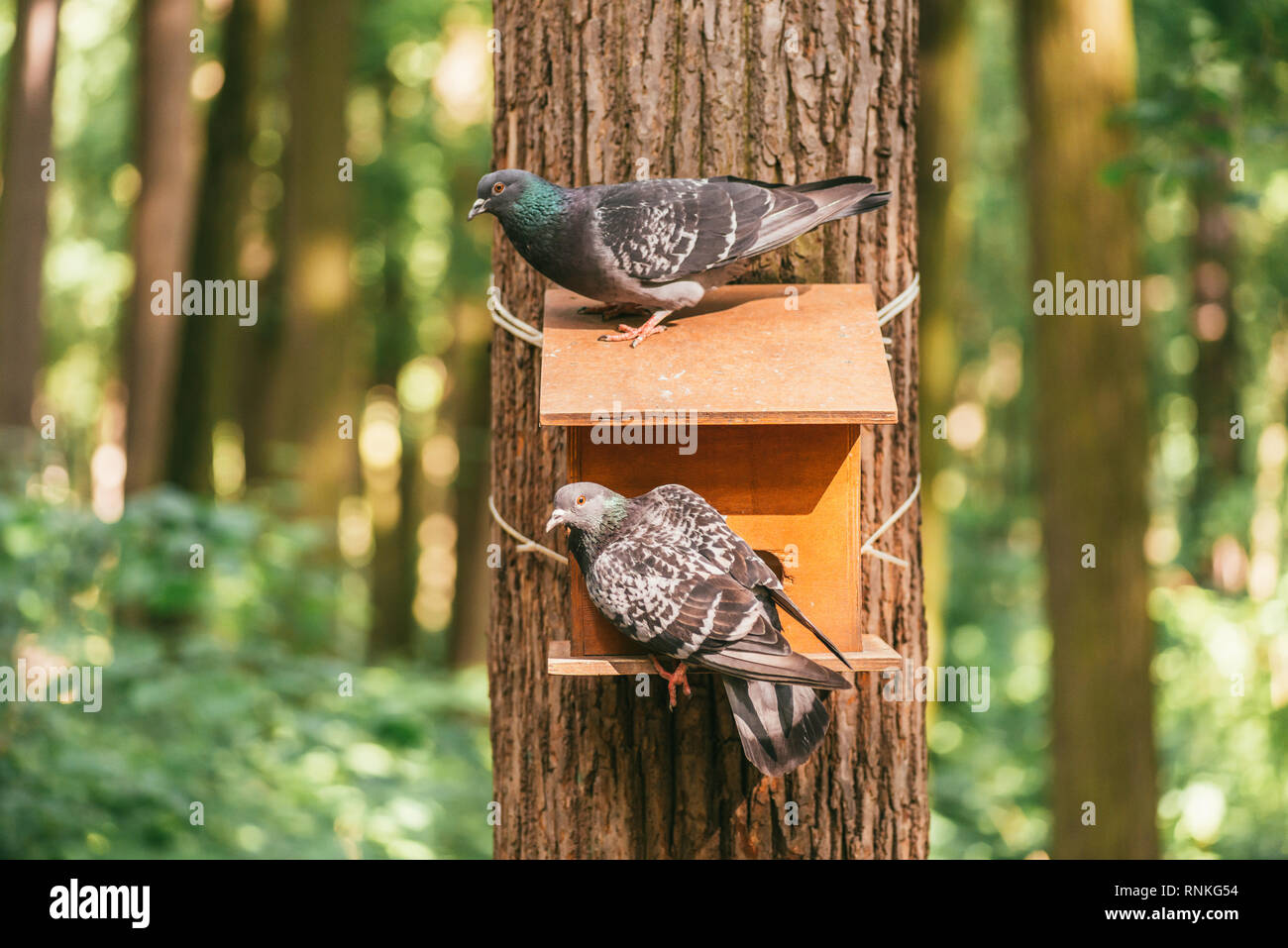 Two Pigeons Sitting On A Large Wooden Feeder Nailed To The Trunk Of
