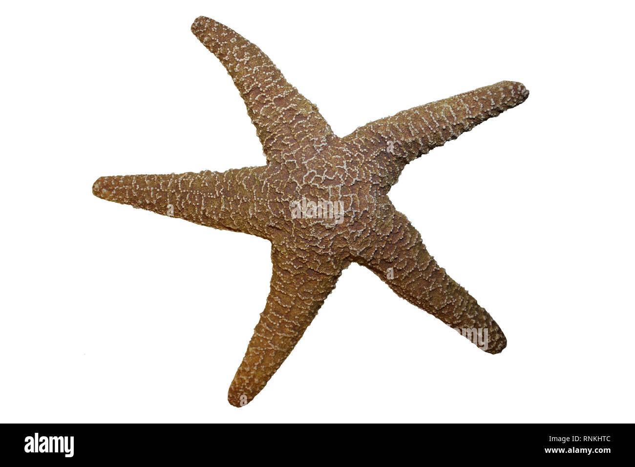 Starfish Isolated on White Background - Stock Image