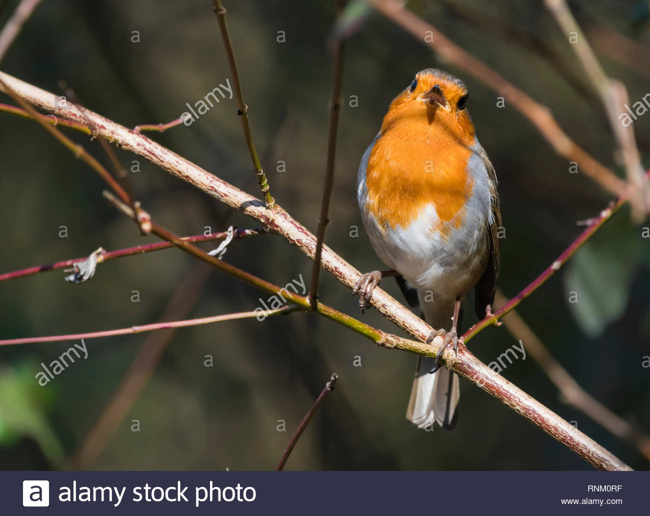 British (Melophilus) Adult European Robin Redbreast (Erithacus rubecula) perched on a twig in Winter (February) in West Sussex, England, UK. - Stock Image