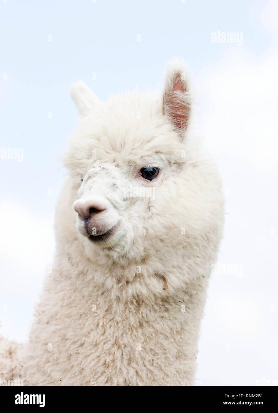 Alpaca (Vicugna pacos), portrait of adult. Germany - Stock Image