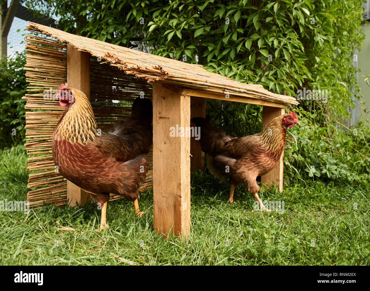 Welsummer Chicken. Pair of hens in a selfmade shelter in a garden. Germany - Stock Image