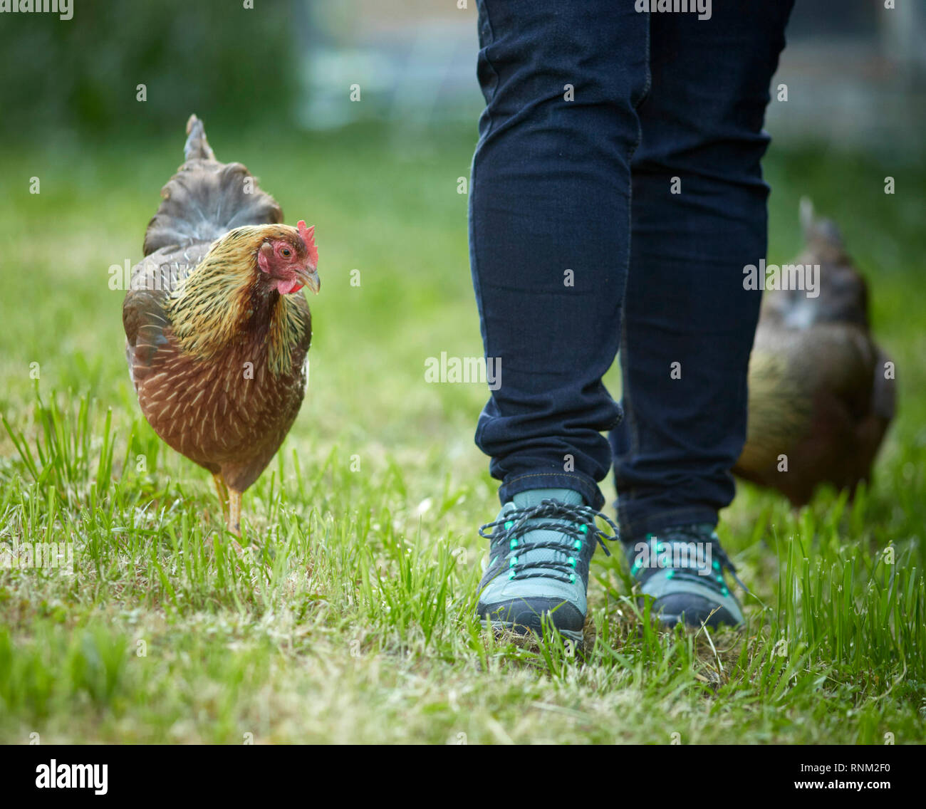 Welsummer Chicken. Pair of tame hens following person in the garden. Germany - Stock Image