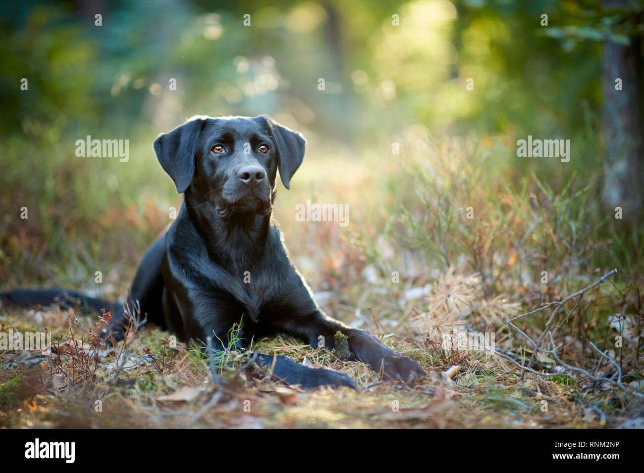 Mixed-breed dog (Labrador Retriever x ?). Black adult lying in a forest. Germany Stock Photo