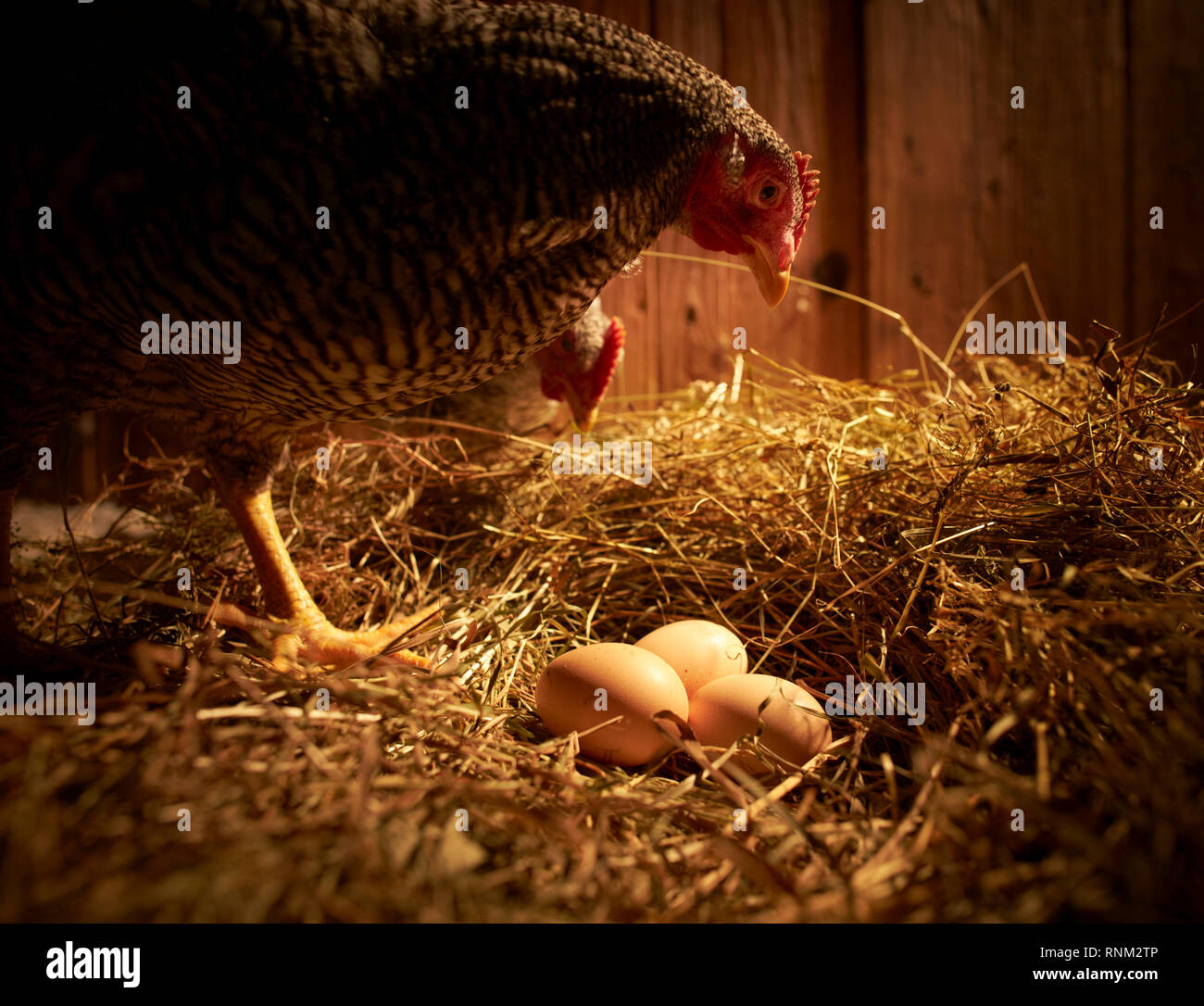 Domestic chicken, Amrock Bantam. Two hens at nest with eggs in a coop. Germany. - Stock Image