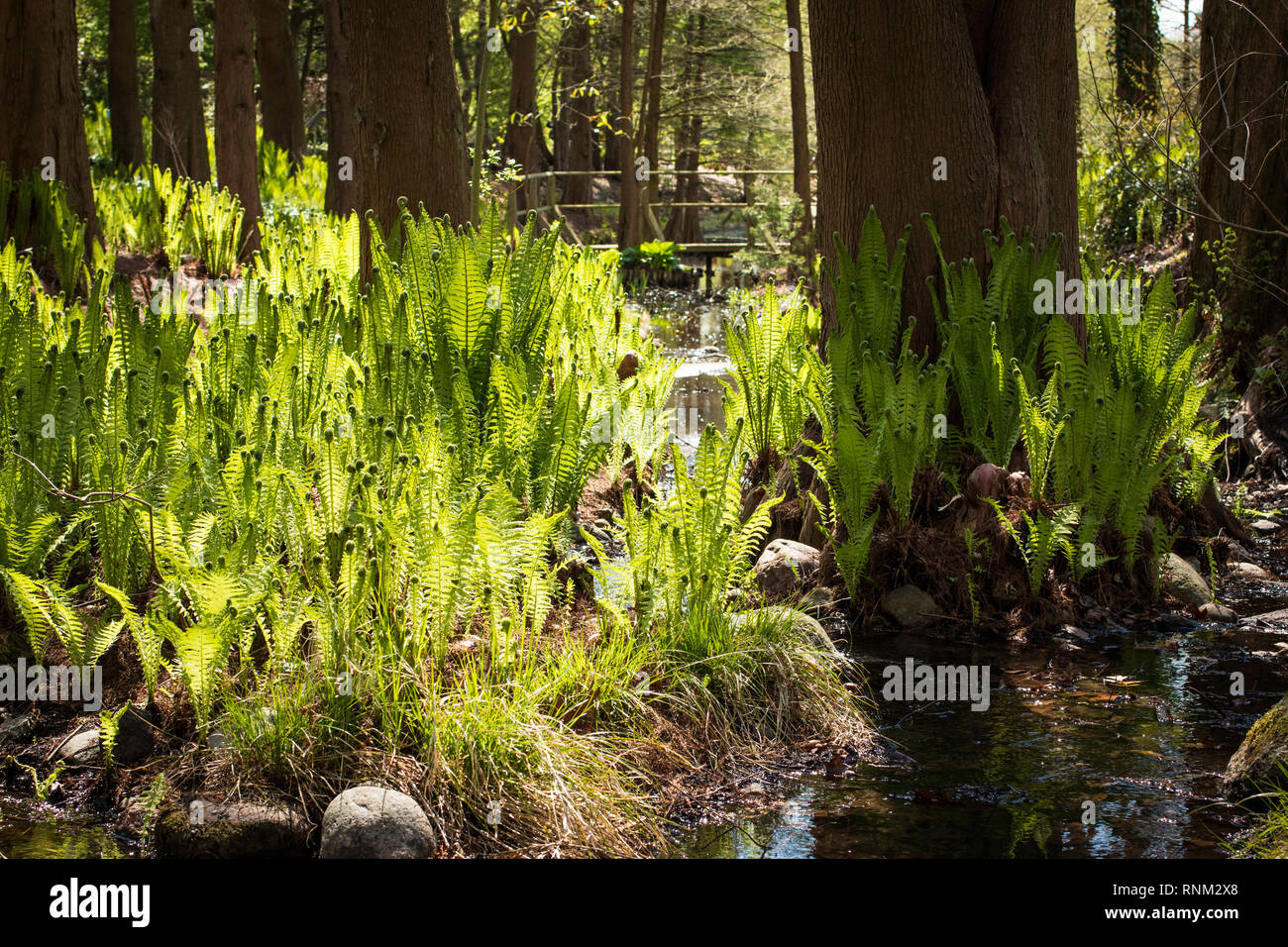 Ostrich Plume Fern, Ostrich Fern (Matteuccia struthiopteris). Plants at a stream in a forest in spring. Germany - Stock Image