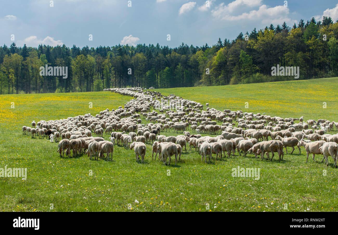 Merino Sheep (Ovis ammon aries). Herd grazing. Bavaria, Germany - Stock Image
