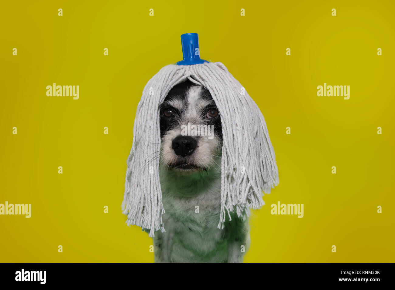 FUNNY DOG DRESSED WITH A MOP WIG FOR CARNIVAL, NEW YEAR OR HALLOWEEN PARTY. ISOLATED SHOT ON YELLOW COLORED BACKGROUND. - Stock Image