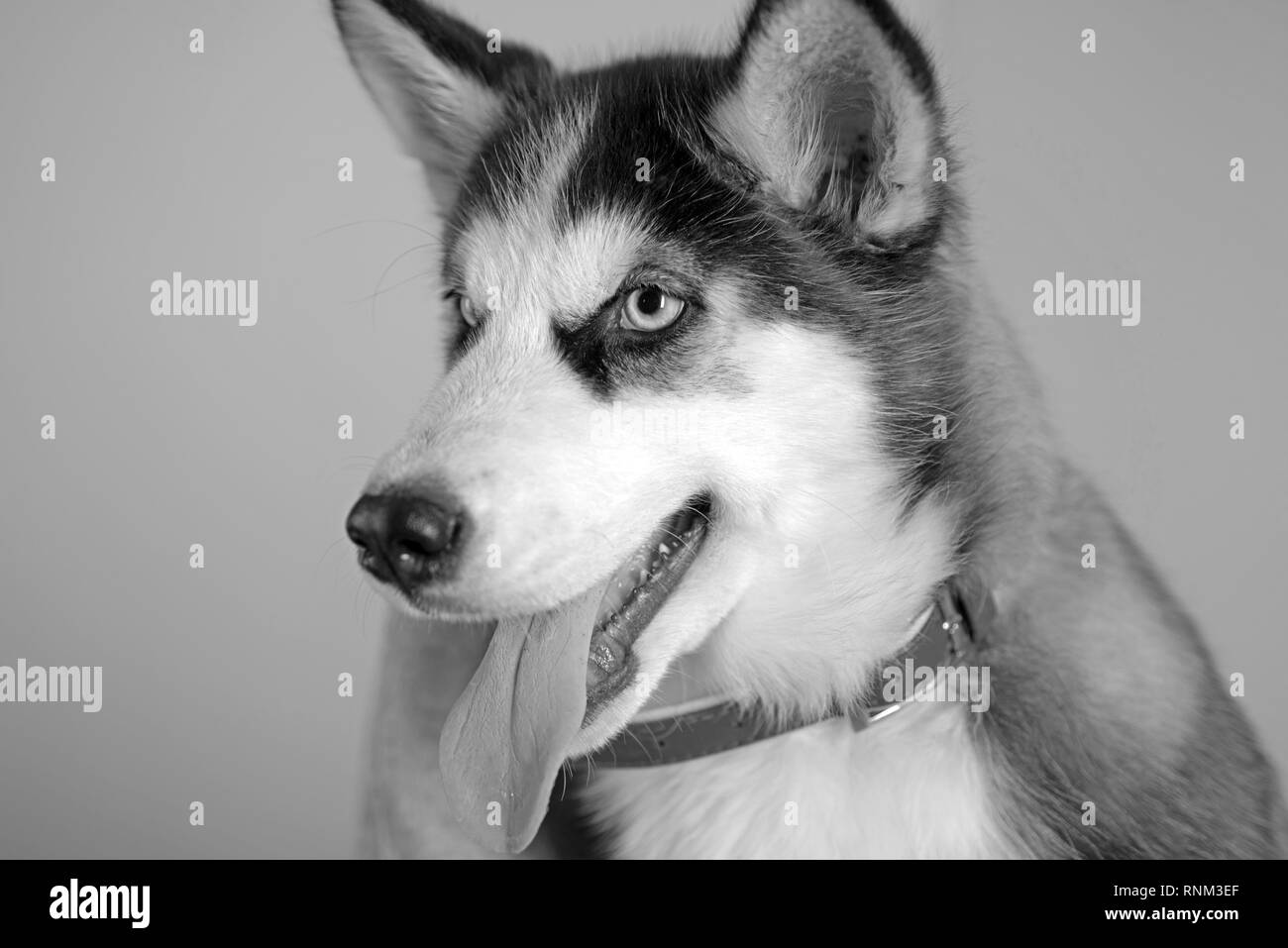 He is more than just a dog. Husky dog. Cute pet dog. Siberian husky is a beautiful purebred dog breed. Husky with blue eyes and wolf like look. Pet - Stock Image