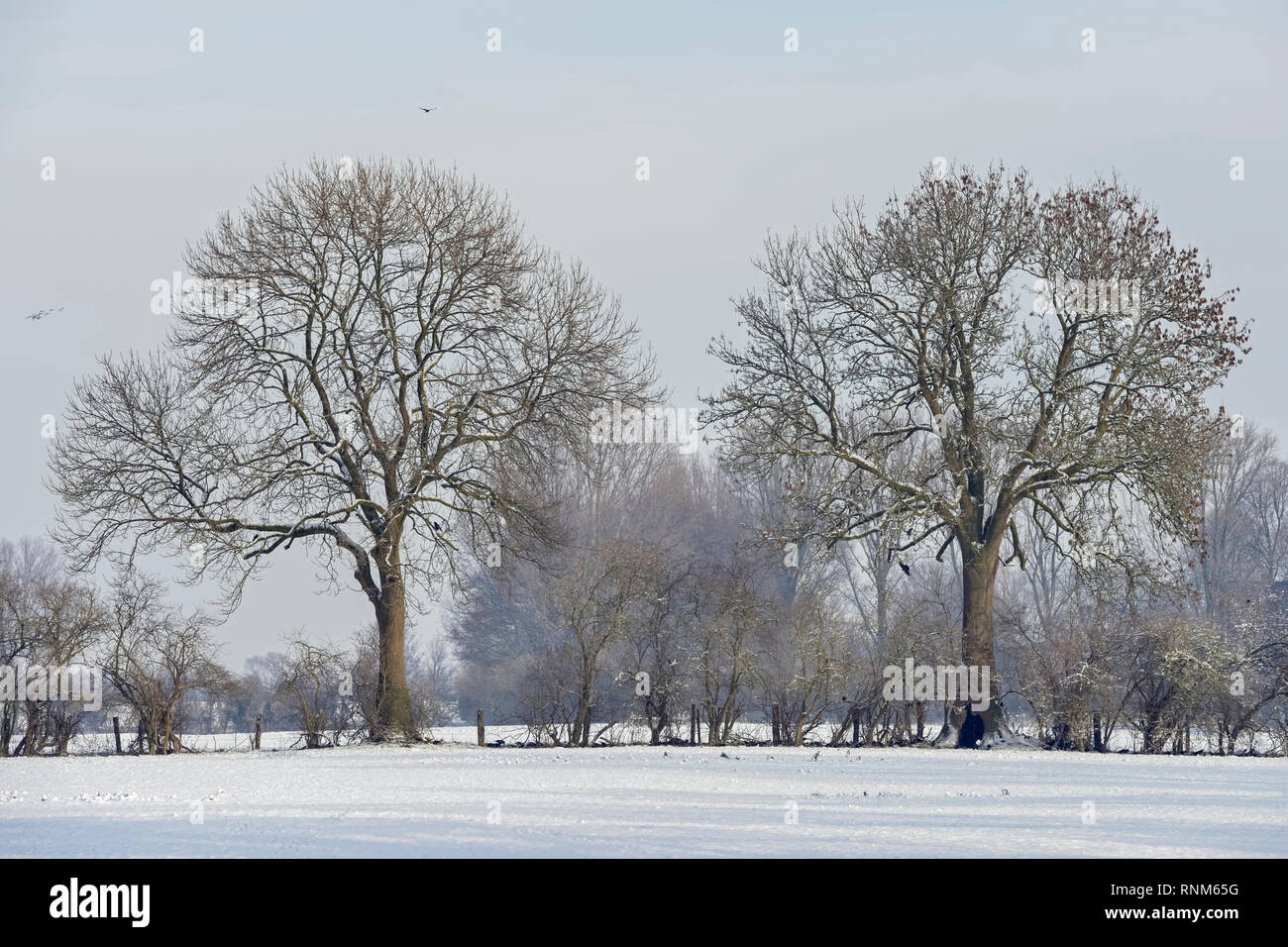 Row of old trees and hedgerow bushes on a frosty winter morning in rural environment, typical view in Lower Rhine region, North Rhine Westfalia, Germa - Stock Image