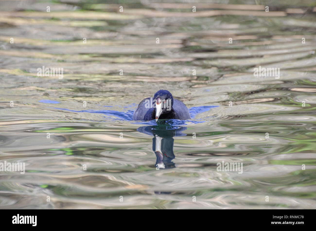 American Coot (Fulica americana), Franklin Canyon, Los Angeles, CA, USA. - Stock Image