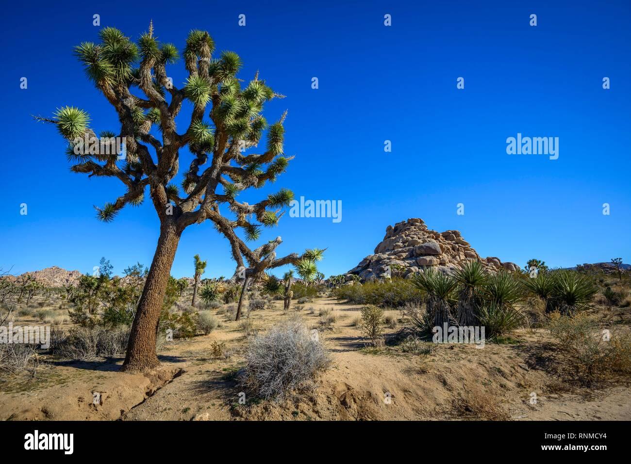 Joshua Trees (Yucca brevifolia), Boy Scout Trail, Joshua Tree National Park, Desert Center, California, USA - Stock Image
