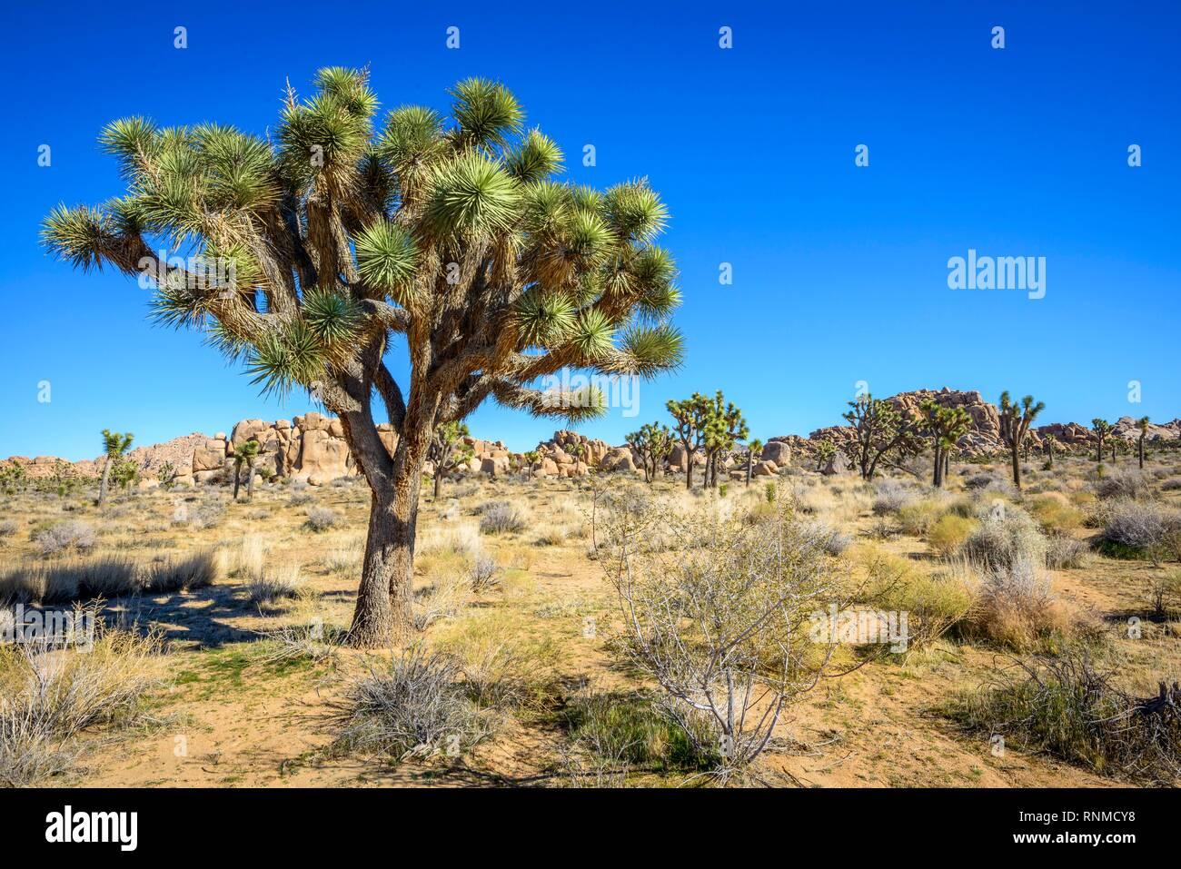 Joshua Tree (Yucca brevifolia), Boy Scout Trail, Joshua Tree National Park, Desert Center, California, USA - Stock Image