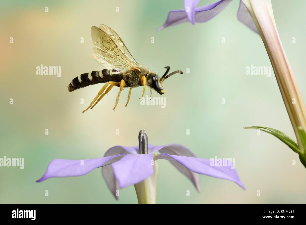 Sweat Bee (Halictus scabiosae) in flight at the flower of a Phlox (Phlox), Germany, Europe - Stock Image
