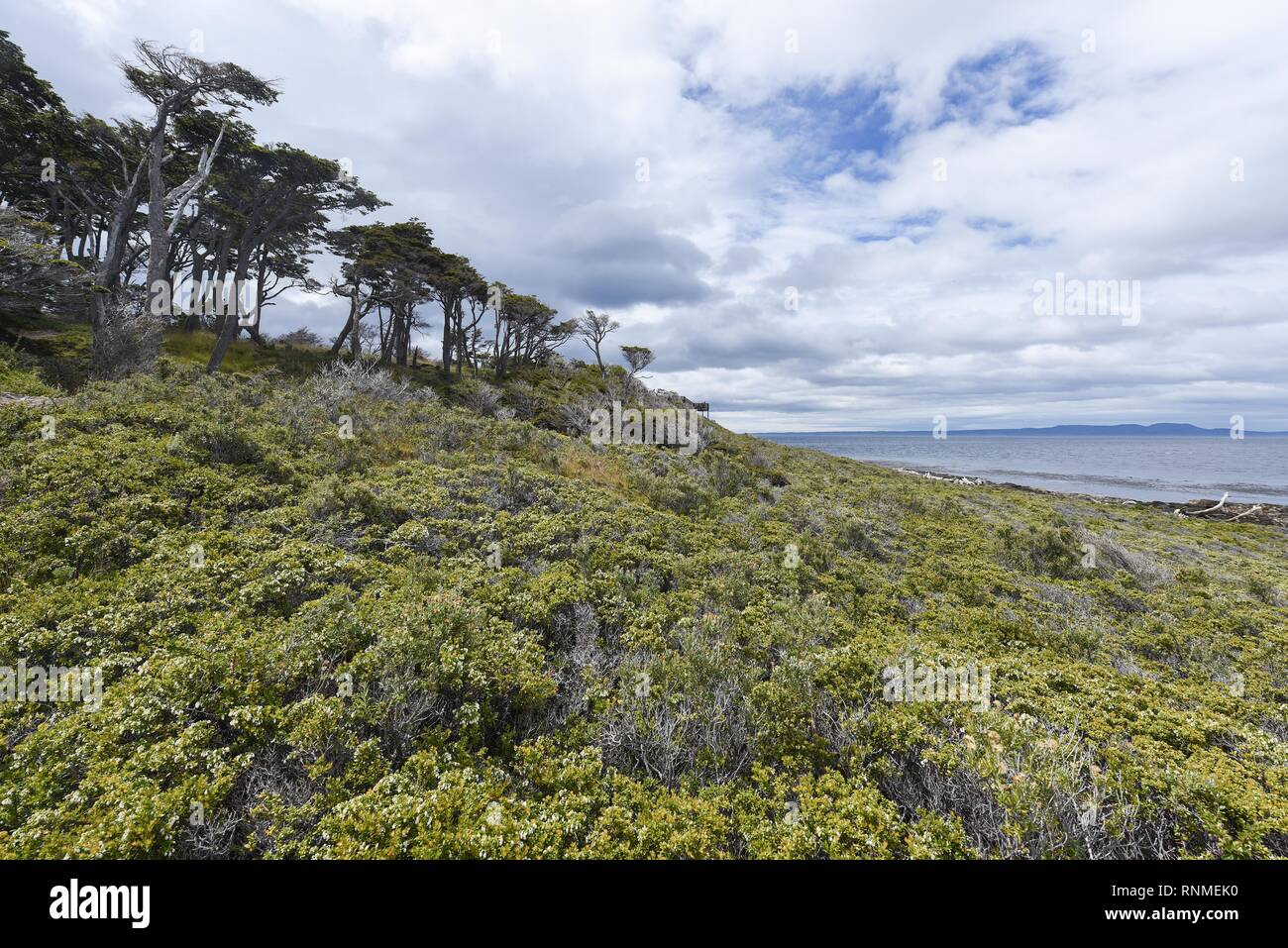 Coastal forest with bush land at the Strait of Magellan near Punta Arenas, Patagonia, Chile - Stock Image