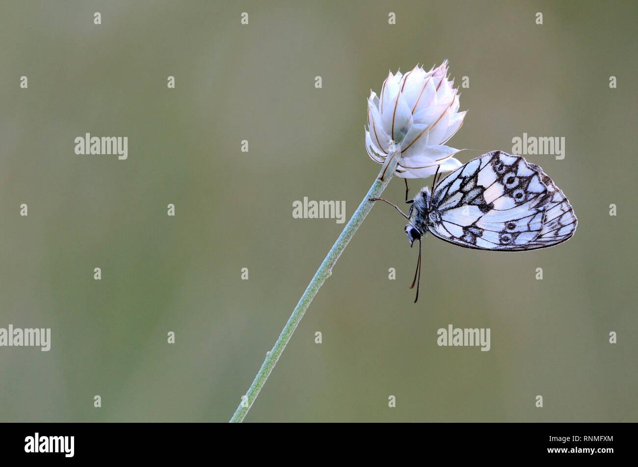 Butterfly, Marbled White (Melanargia galathea) - Stock Image