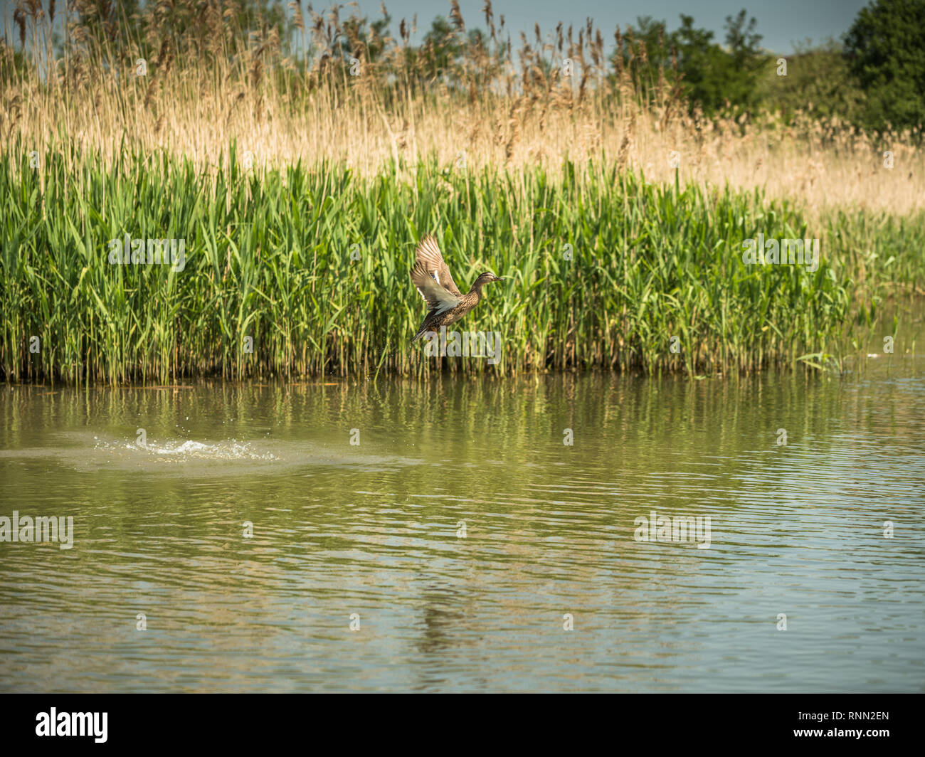 Female mallard duck motion shown during take off her wings outs and legs tuck beneath her. Duck in front of the wetlands reeds, water dropping off her - Stock Image