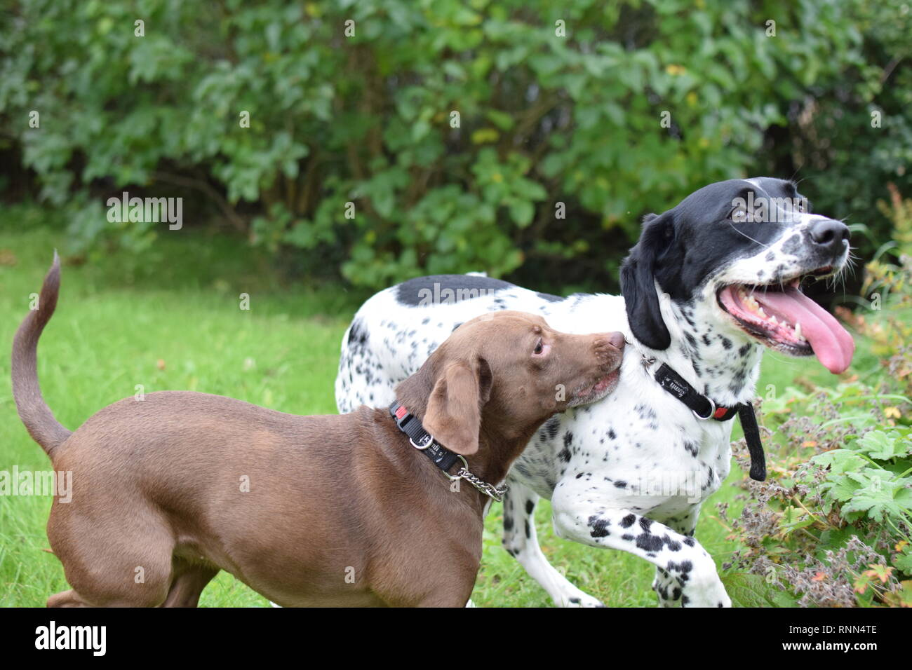 Two Spaniel crosses running and playing in a family garden. - Stock Image