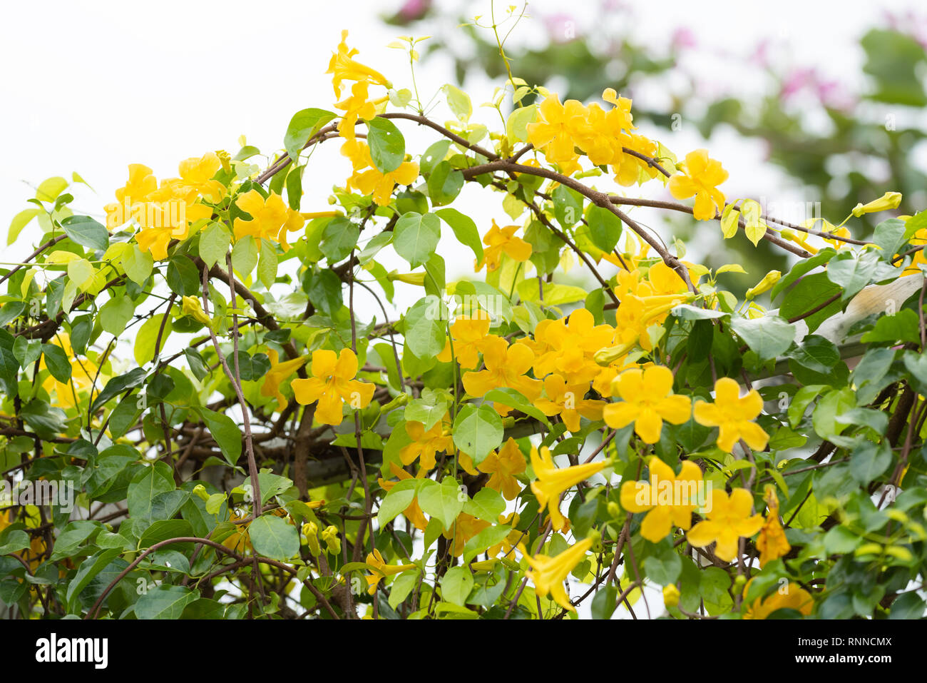 Beautiful Yellow Flowers With Green Leaves On Metal Fence Over White