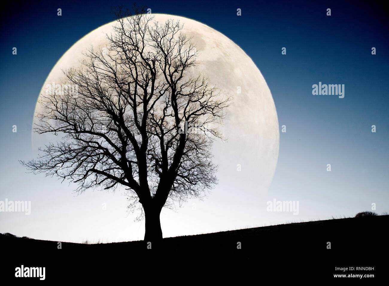 Winter, Tree, Large, Moon, Silhouette, Godshill, Isle of Wight, England, UK, - Stock Image