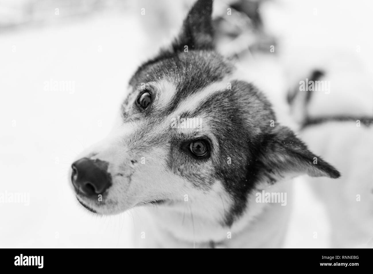 Black and white portrait of a husky - Stock Image